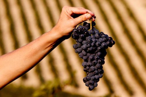 Winestories - Grappolo