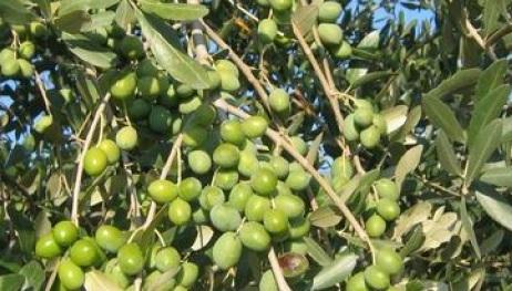 Il Cavallino Special Edition olio extravergine d'oliva