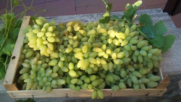 #LazioPrezioso – A Tivoli un nuovo Presidio Slow Food: l'uva Pizzutello